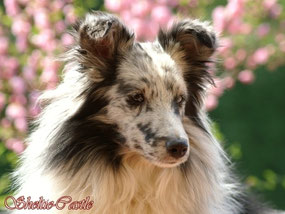 Florence of Sheltie-Castle