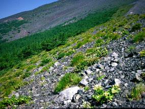 富士山森林限界の植生
