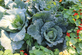 nasturtiums and cabbage companion planting