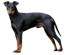 Manchester Terrier, Black and Tan Terrier, Hund