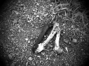途中、山道に落ちてた鹿の足、。 超フレッシュやし!(滝汗) 確実に何かに狩られた後! なににやろ?(汗) *カラーでお見せできないのが残念!