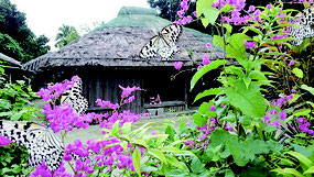 アサヒカズラに集まってきたオオゴマダラ=4日、竹富島西集落バギナヤ