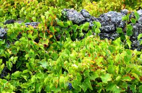 Weinbau auf Pico - UNESCO Weltkulturerbe