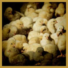 Chicken Live: In 37 Tagen vom Bibeli zum Poulet