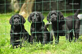 quanto costa cucciolo di labrador