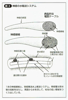 神経の水輸送システム