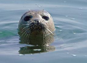 Phoque, Baie de Somme, veau marin, phoque gris