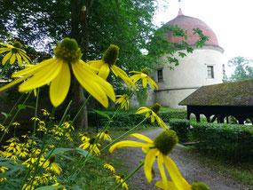 Echte Rödertalblumen (Schlitzblättriger Sonnenhut; Rudbeckia laciniata) im Schlosspark Hermsdorf