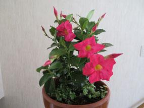 紅い花は「ディプラディニア」毎年咲きます。頑張らなくちゃ!   足元には3種のグランドカバーになる草を植えています。