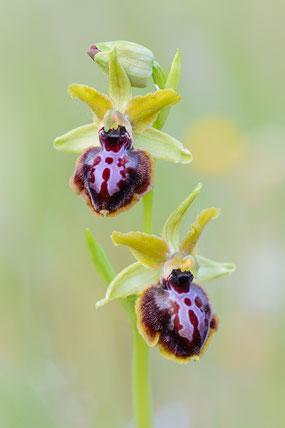 Gargano-Ragwurz (Ophrys passionis ssp. garganica)
