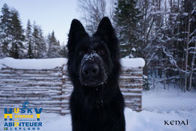 Kenai - Wachhund