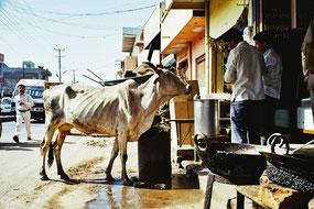 Kühe die sich selbst bedienen