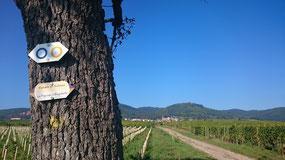 Le vignoble avec vue sur Husseren les Châteux