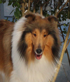 Foto: Milesian Collies