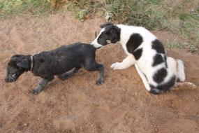 FCI standardmäßige Deerhound Welpen aus liebevoller Aufzucht! Schottische Windhunde-der Scottish Deerhound! Eingetragene VDH/DWZRV Zuchtstätte für Scottish Deerhounds und Barsois!