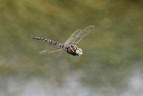 Ein Männchen der Hochmoor-Mosaikjungfer, Aeshna subarctica elisabethae, auf Jagdflug.