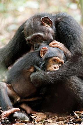 Oscar le chimpanzé trouve un protecteur pour remplacer sa mère (©DisneyNature)