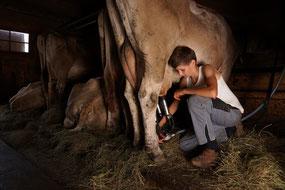 die Kühe werden zweimal täglich gemolken