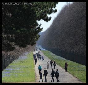 Scillablüte - die Herrenhäuser Allee verbindet den Großen Garten mit dem Königsworther Platz