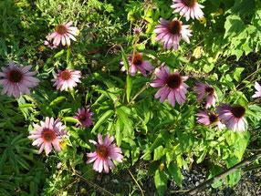 Echinacea (Sonnenhut) als Unterstützung für das Immunsystem