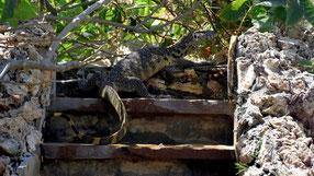 Varano del Nilo - Tembo Court Malindi