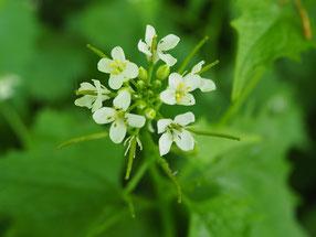 Knoblauchsrauke, Blüte