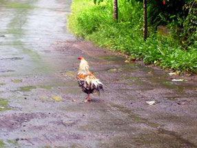 cock on a road