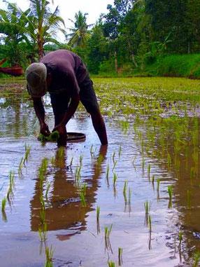 Reisbauer bei der Arbeit