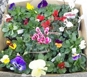 花壇の花の苗