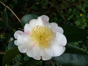 """Camellia """"Higo Kyo Nishiki"""""""