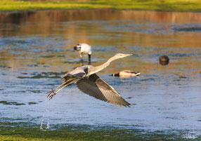 Heron cendré guerande nils dessale