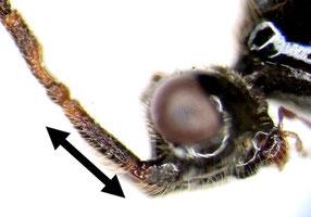 ハエヤドリクロバチ科の一種(頭部および触角基部側面)