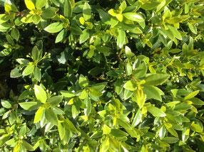 Laub und Blüten einer Japanische Stechpalme, Iledx crenata