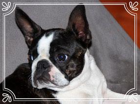 Black brindle Boston Terrier..., Boston Terrier on Show..., eingetragene und geprüfte Zuchtstätte für Boston Terrier/Rheinland-Pfalz!