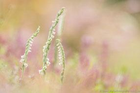 Herbstdrehwurz (Spinanthes spirales), Thüringen