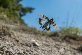 Blauflügelige Ödlandschrecke (O. caeruescens)