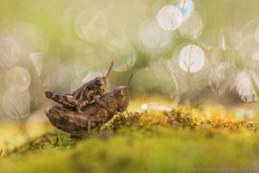 Kleine Knarrschrecke