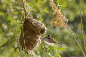 Anflug des Weibchens zur Fütterung