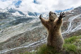 Murmeltier (Marmota marmota), Wallis
