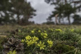 Felsen-Goldstern im Habitat