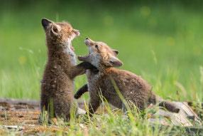 Rangeleien zweier Fuchswelpen