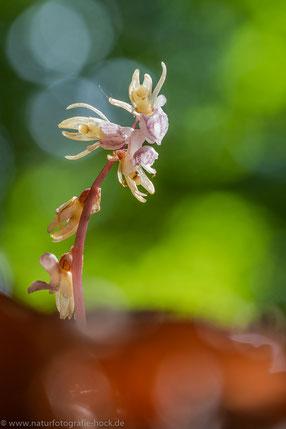 Widerbart (Epipogium aphyllum), Thüringen