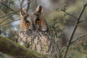 faszinierende Augen der Waldohreule