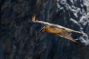 Bartgeier (Gypaetus barbatus), Wallis