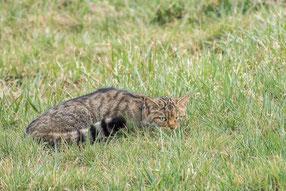 Wildkatze, Felis silvestris, Thüringen