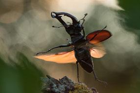 Hirschkäfer (Lucanus cervus)
