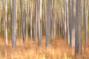 Herbstkiefernwald auf dem Darß