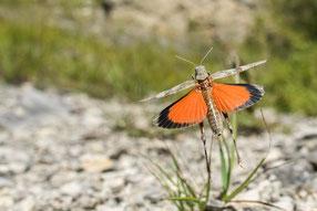 Rotflügelige Ödlandschrecke (O. germanica)