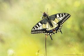 Schwalbenschwanz (Papilio machaon), Thüringen