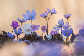 Farbvarianten der Leberblümchen